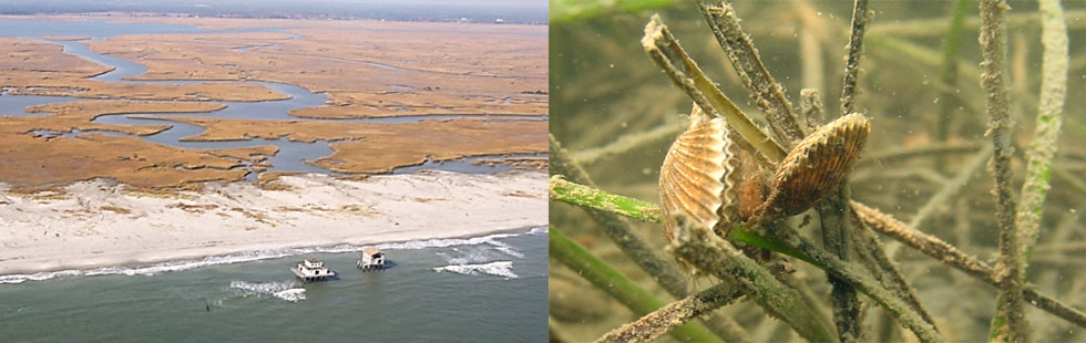 left aerial photo of Virginia Coast Line. Right closeup of scallops on seagrass